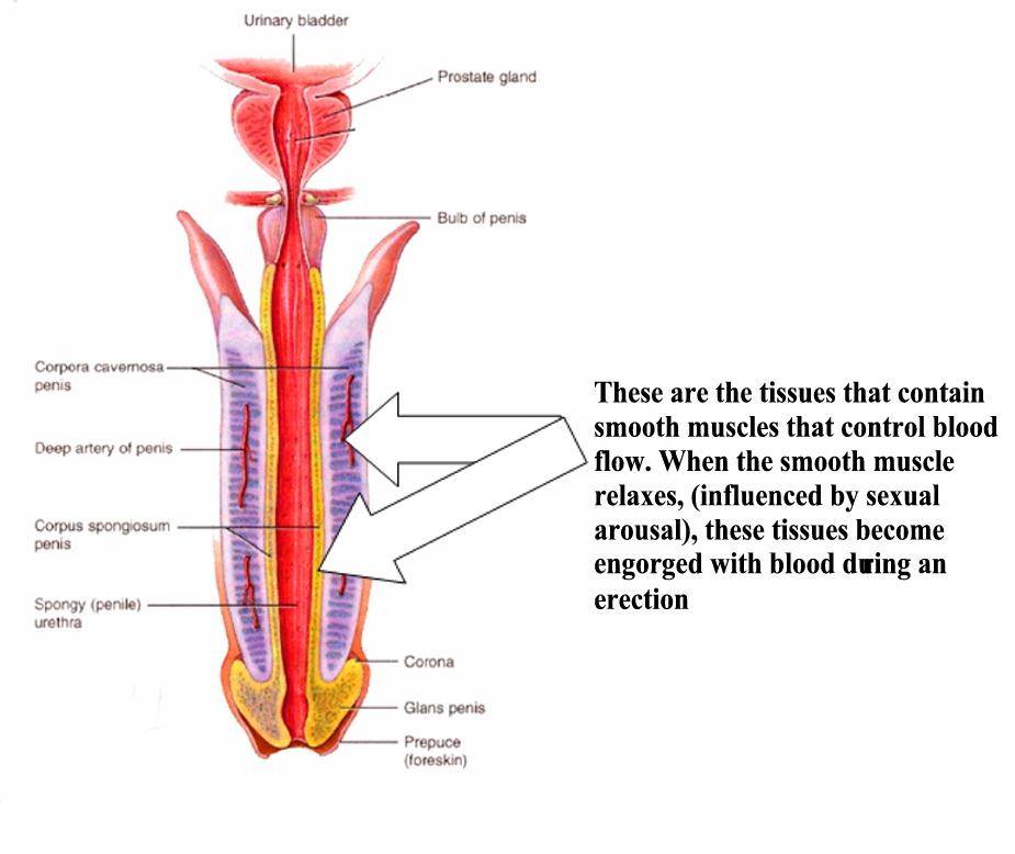 blood vessels erection